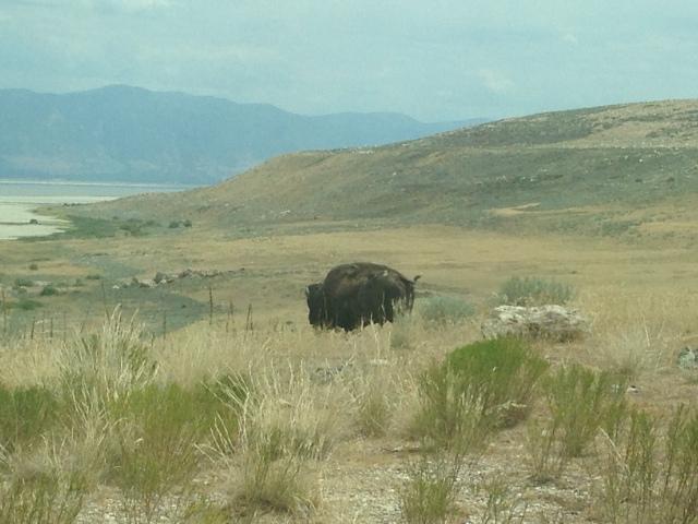 Free-range Bison